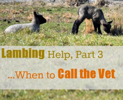Lambing Help, Part 3...When to Call the Vet {at www.walkinginhighcotton.net} #sheep #homsteading