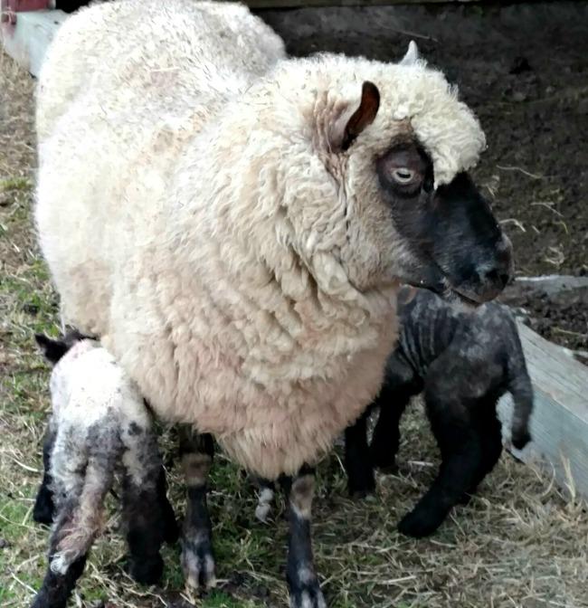 Lambing Season Has Started {2017} » Walking in High Cotton
